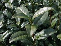 чай зеленого завода Стоковое Изображение