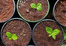 чай зеленого завода potted Стоковая Фотография RF