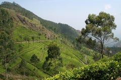 чай земли Стоковая Фотография