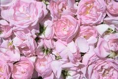 чай лепестков розовый Промышленное культивирование нефтеносного подняло Стоковые Изображения