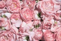 чай лепестков розовый Промышленное культивирование нефтеносного подняло Стоковое Изображение RF