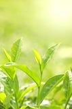 чай листьев Стоковое Изображение