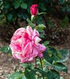 Чай первого приза розовый гибридный Стоковые Изображения