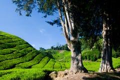 чай плантации гористой местности cameron Стоковые Изображения RF