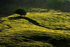 чай плантации гористой местности cameron Стоковая Фотография