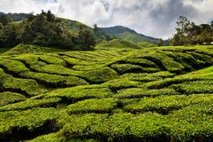 чай плантации гористых местностей cameron Стоковые Изображения RF