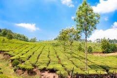 чай плантации гор Индии cardamam Стоковые Изображения