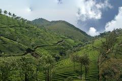 чай плантации Индии Кералы Стоковое Изображение RF