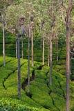 чай плантации Индии Стоковое Изображение RF