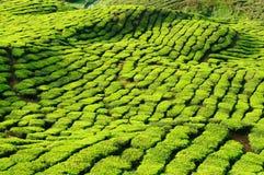чай плантации Малайзии гористых местностей cameron Стоковое Фото