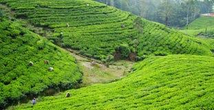 чай плантации рудоразборки Стоковые Изображения