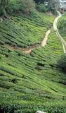 чай плантации Стоковое Фото