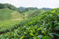 чай плантации Стоковое фото RF