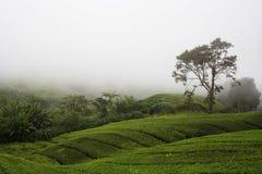 чай плантации Стоковые Изображения