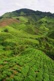 чай плантации Стоковая Фотография
