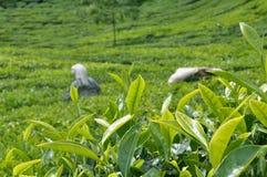 чай плантации Стоковые Фото