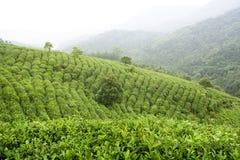 чай плантации Стоковое Изображение RF