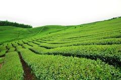 чай плантации Стоковые Фотографии RF
