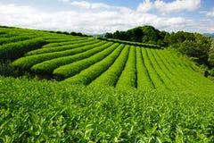 чай плантации Стоковые Изображения RF