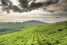 чай плантации Стоковая Фотография RF