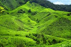 чай плантаций Стоковые Изображения