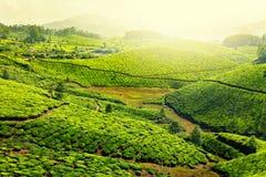 чай плантаций стоковое изображение rf