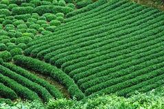 чай поля зеленый Стоковая Фотография