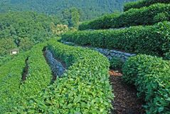 чай поля зеленый Стоковое фото RF