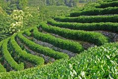чай поля зеленый Стоковая Фотография RF