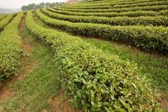 чай поля стоковое фото