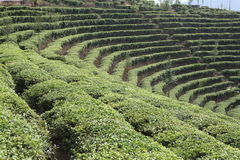 чай поля Стоковая Фотография