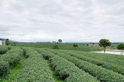 чай поля зеленый Стоковые Изображения