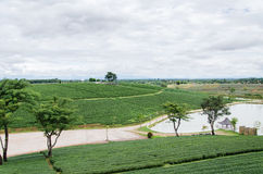 чай поля зеленый Стоковое Изображение