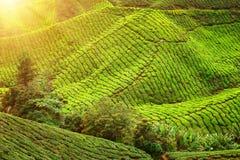 чай плантации гористых местностей cameron Стоковые Изображения