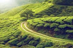 чай плантации гористых местностей cameron Стоковое Изображение