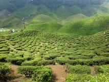 чай плантации Малайзии Стоковая Фотография