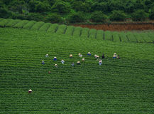 Чай работника havesting на плантации в Moc Chau Стоковые Изображения