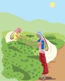 чай рудоразборки Стоковое Изображение