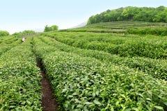 чай сада Стоковое Фото