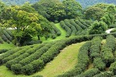 Чай Тайбэя органический Oolong Стоковая Фотография RF