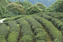 Чай Тайбэя органический Oolong Стоковое Изображение