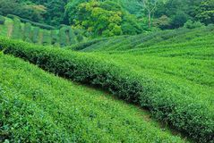 Чай Тайбэя органический Oolong Стоковые Фото