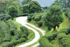 Чай Тайбэя органический Oolong Стоковые Изображения