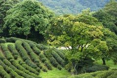 Чай Тайбэя органический Oolong Стоковое фото RF