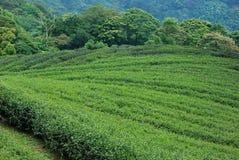 Чай Тайбэя органический Oolong Стоковые Фотографии RF