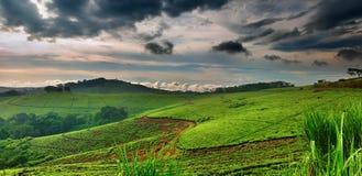 чай Уганда плантации Стоковое фото RF