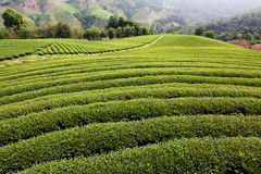 чай фермы зеленый Стоковое Изображение