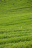 чай фермы зеленый Стоковая Фотография