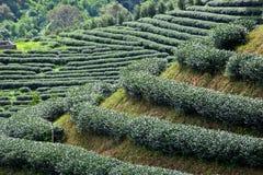 чай фермы зеленый Стоковое фото RF