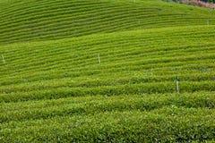 чай фермы зеленый Стоковые Фотографии RF